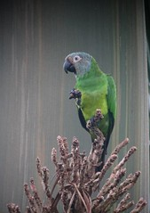 Weddell's Conure