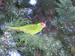 Cherry Conure in a tree