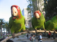 Feral Cherry Headed Conures