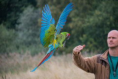 Green Macaw Flying