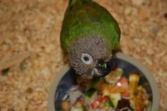Dusky Headed Parakeet