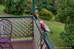 Pink and Gray Cockatoo