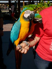 Pet Blue and Gold Macaw