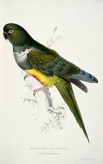 Burrowing Parrot