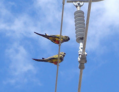 Patagonian Conures on a pylon