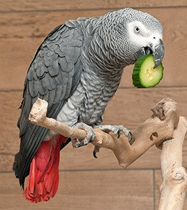 African Grey Parrot Price Guide: How Much the Expenses Cost