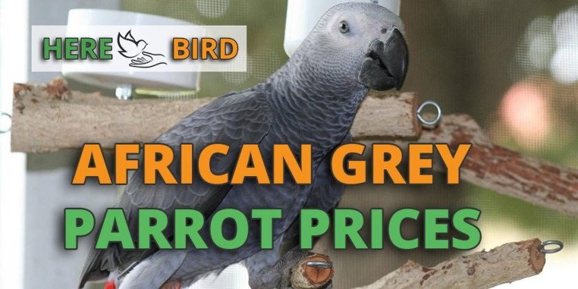 african-grey-parrot-prices