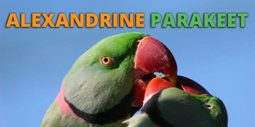 Alexandrine Parrot Care, Behavior, Price and Lifespan