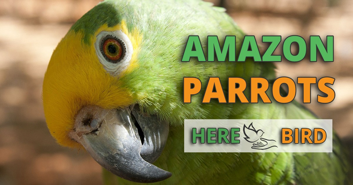 Amazon Parrot Caring Guide Lifespan Diet Prices And Training