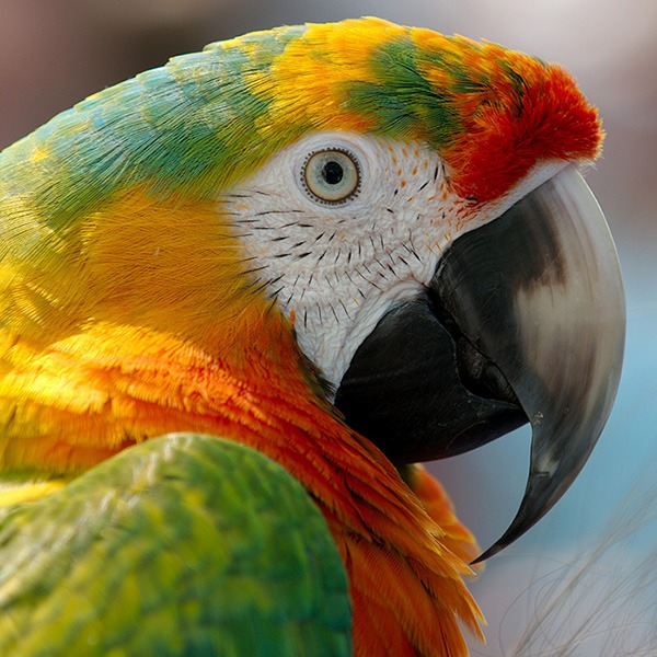 Parrot Beak Trimming and Grinding for Overgrown Beaks