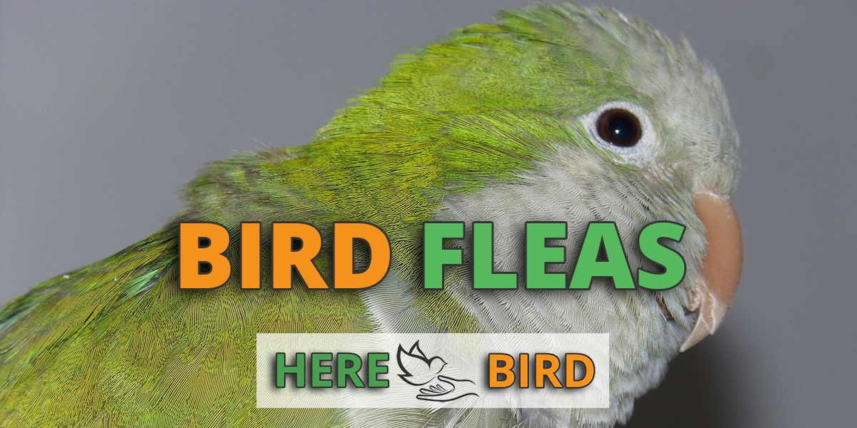 bird-fleas