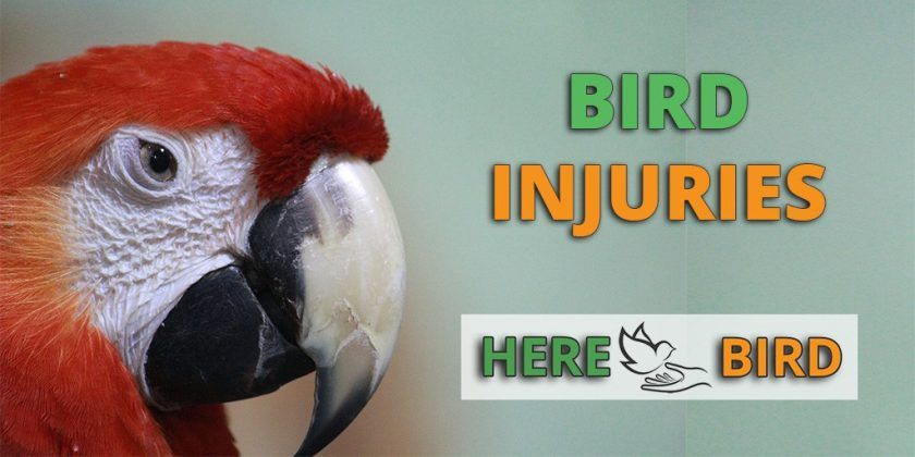 Bird Injuries & Wounds - What To Do And First Aid Caring Steps