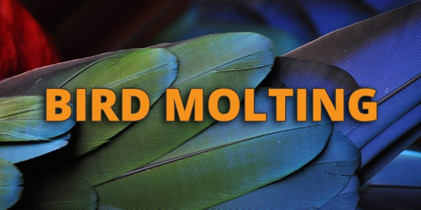 bird molting