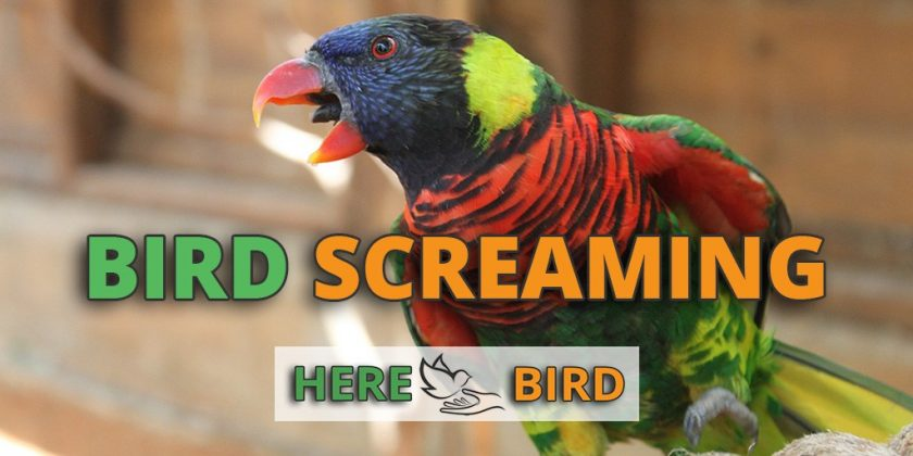 bird-screaming
