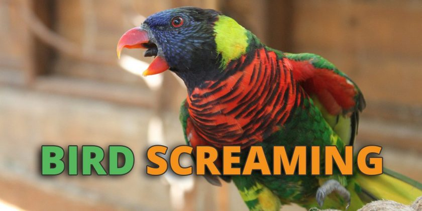 parrot screaming