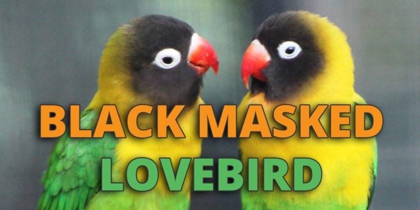black masked lovebird