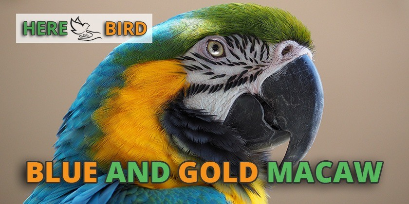 blue-gold-macaw-featured