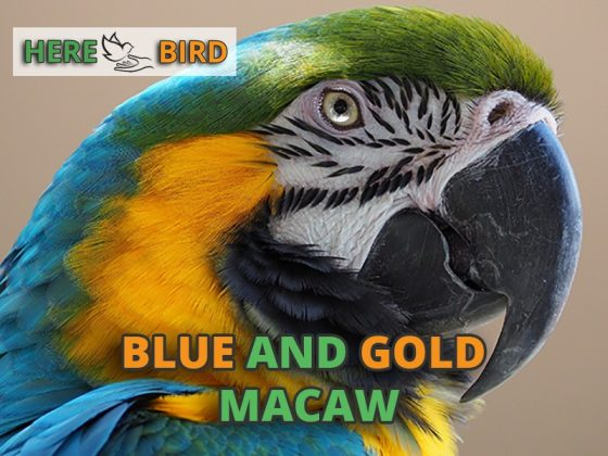 blue-gold-macaw-snippet