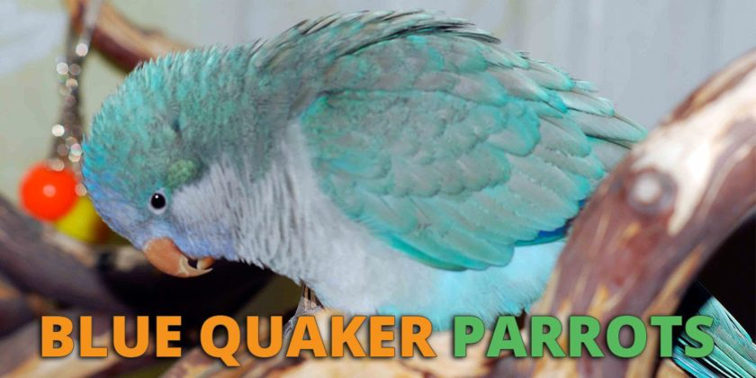 Blue Quaker Parrot Care, Personality, Lifespan and Price
