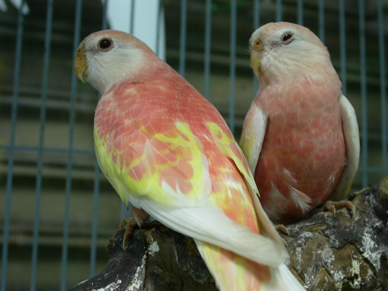 Caring for a Bourke Parakeet: See the Price, Health and Behavior