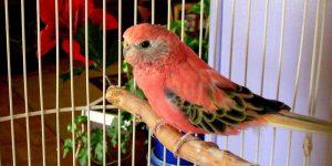 bourke parrot 2