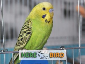 budgie-cage
