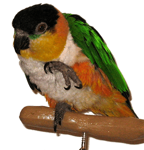 Guide to Caiques: Personality, Costs, Foods & Health and