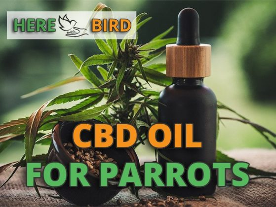 cbd-oil-for-parrots-snippet