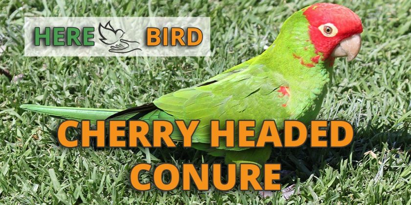cherry-headed-conure-featured