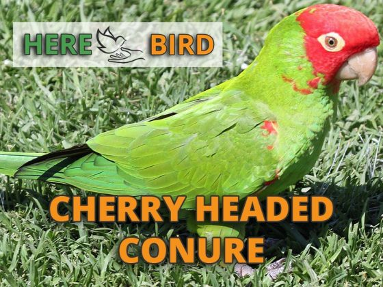 cherry-headed-conure-snippet