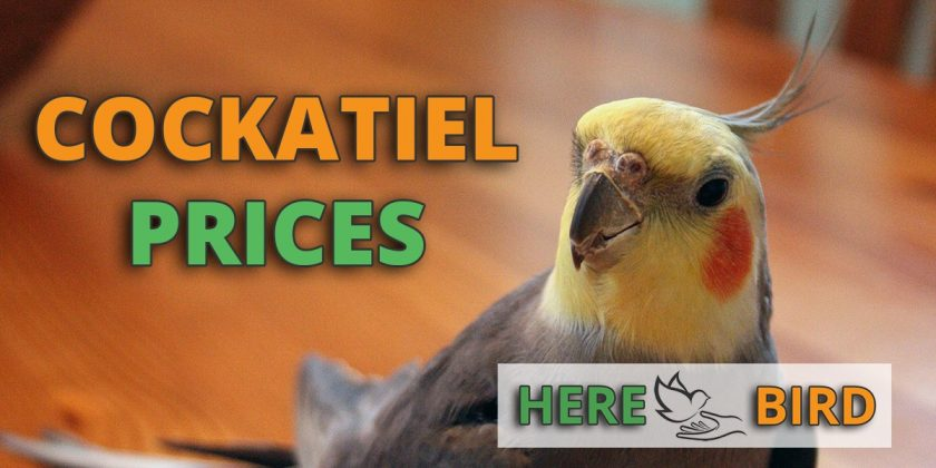 cockatiel-prices