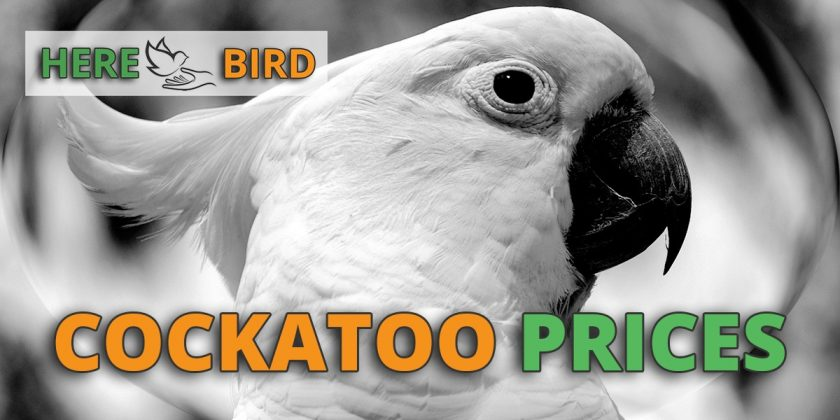 cockatoo prices