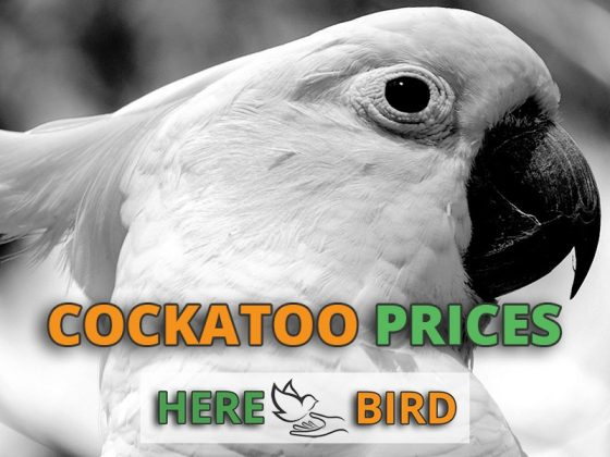 cockatoo-prices