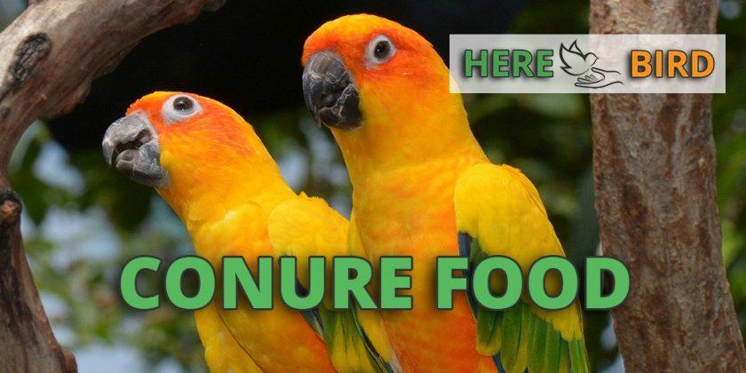 conure-food