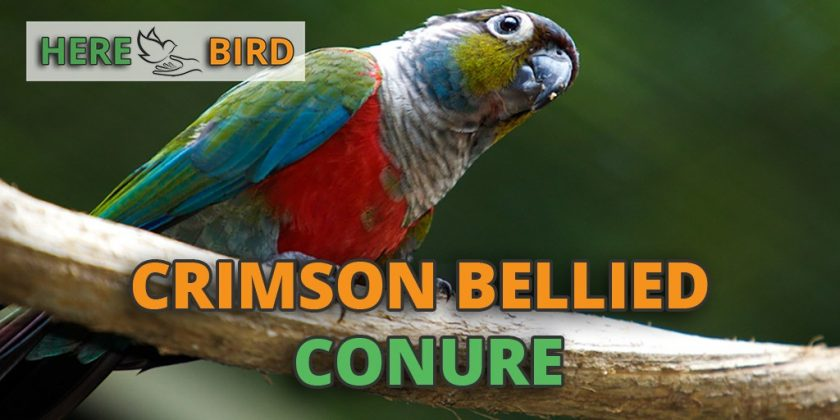 crimson-bellied-conure-featured