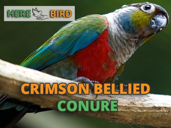 crimson-bellied-conure-snippet