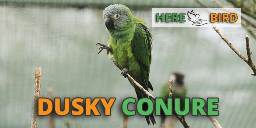 dusky-conure-featured