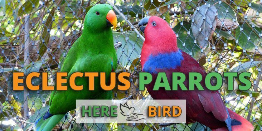 eclectus-parrots