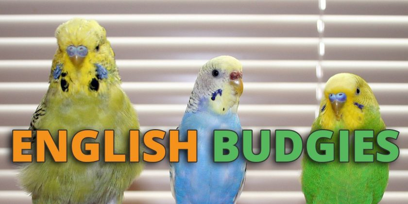 english budgie