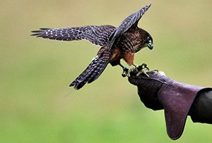 falcon-and-glove