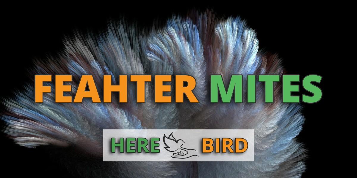 feather-mites