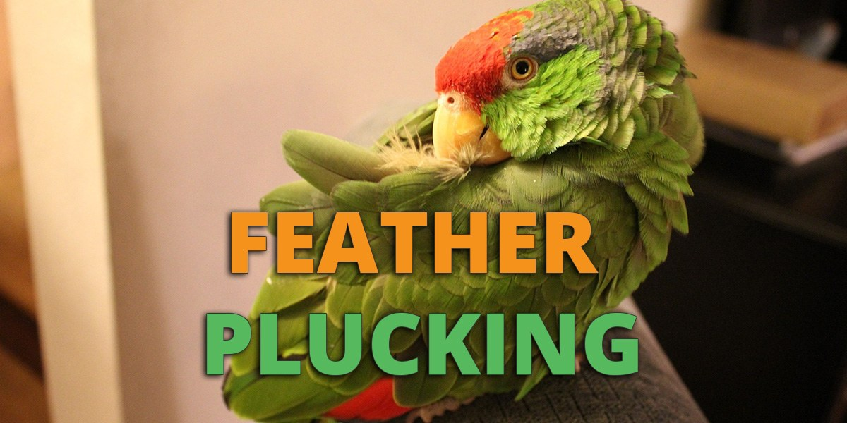 feather plucking