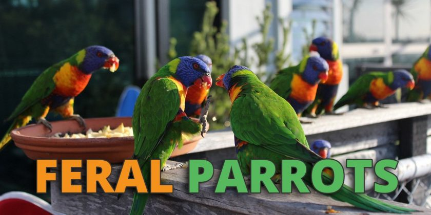 feral parrots