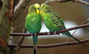 gay budgies