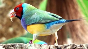 gouldian finches 3