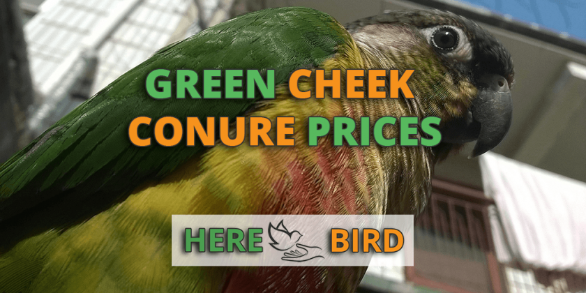 Green Cheek Conure Prices Explained: Discover How Much They