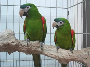 hahns-macaw-cage