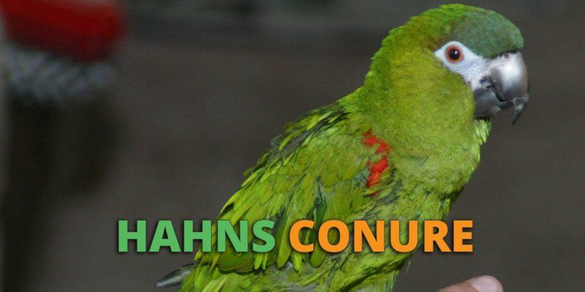 hahn's macaw