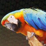 macaw-lifespan