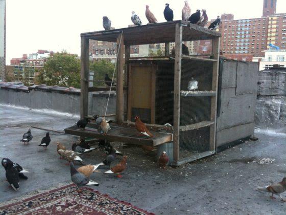 homemade pigeon loft